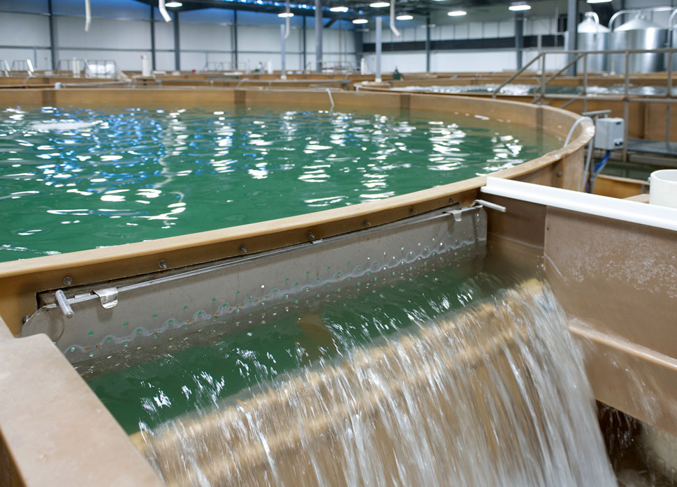 A recirculating aquaculture system tank