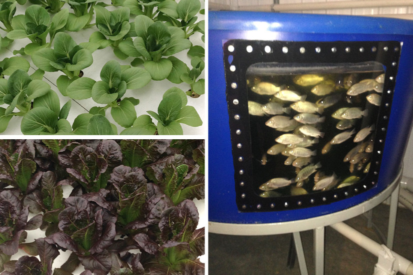 Produce and fish in a recirculating aquaponics system